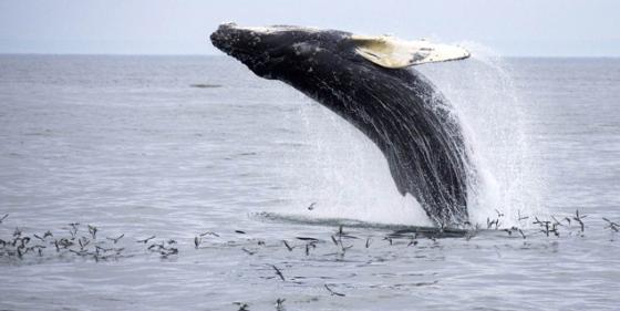 Pourquoi le saut des baleines de Nicolas Cavaillès
