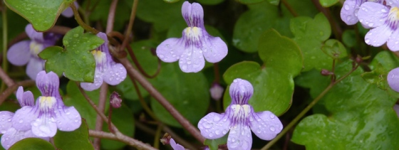 064-fleur-cymbalaire-des-murs